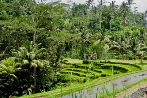 One thousand shades of green. Photo taken in or around Ubud, Indonesia by Sally Arnold.