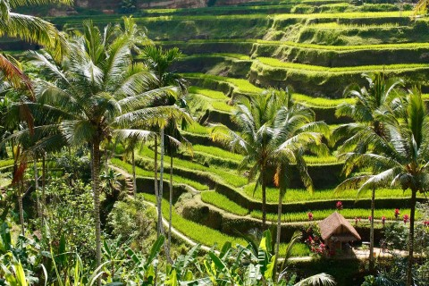 The Tegallalang Rice Terraces. Photo taken in or around Ubud, Indonesia by Sally Arnold.