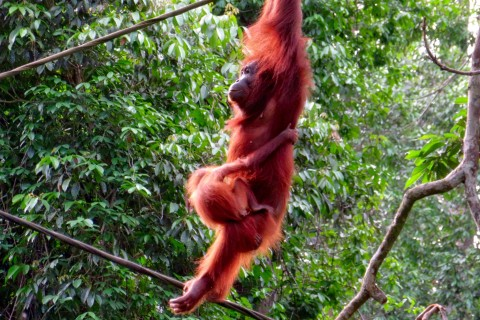 One of Sabah's star attractions. Photo taken in or around Sandakan, Malaysia by Sally Arnold.