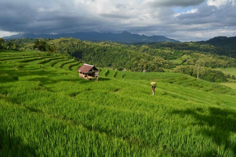 The rice terraces of Krama Bura.
