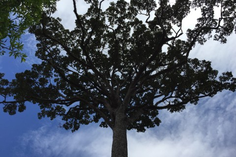Big tree. Photo taken in or around Don Kho Island, Ban Saphai and Wat Chompet, Pakse, Laos by Cindy Fan.