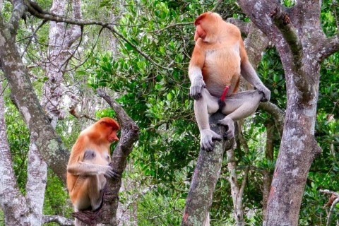 Loss of habitat is endangering the survival of these monkeys. Photo taken in or around Labuk Bay Proboscis Monkey Sanctuary, Sandakan, Malaysia by Sally Arnold.