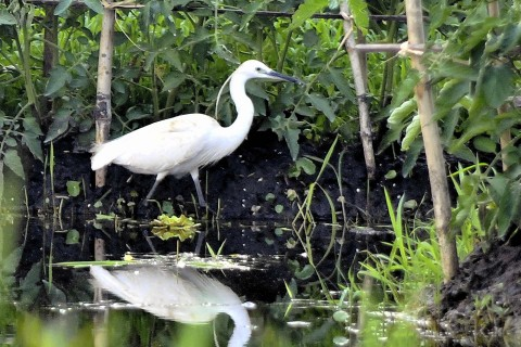 Inle Lake offers great treats for birdwatchers, such as this intermediate or plumed egret.